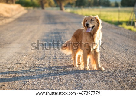 Golden retriever dog walking on a country dirt road