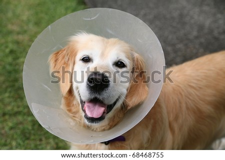Golden retriever dog wearing an elizabethan collar (also known as a buster collar) worn to stop her chewing at a wound - stock photo