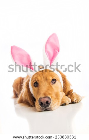 Golden Retriever Dog wearing easter bunny ears