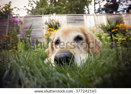 Golden retriever dog with a fish eye lens