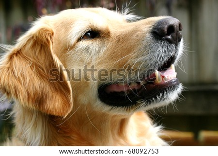 Golden retriever dog with a gentle smile in the late afternoon sun - stock photo