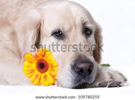 Golden retriever dog with flower on white background
