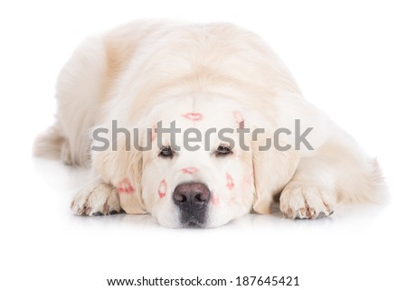 golden retriever dog with kiss marks on his head - stock photo
