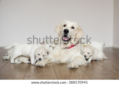 golden retriever dog with puppies indoors - stock photo