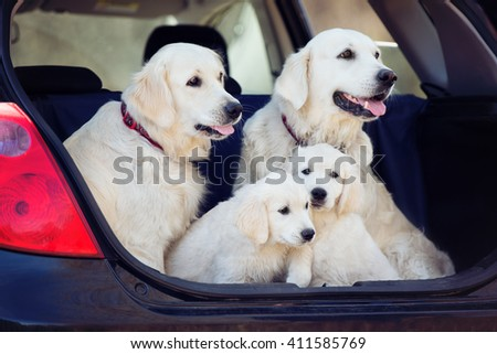 golden retriever dogs and puppies sitting in a car trunk - stock photo