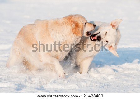 golden retriever dogs playing and fighting - stock photo