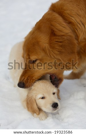 Golden retriever educate her puppy
