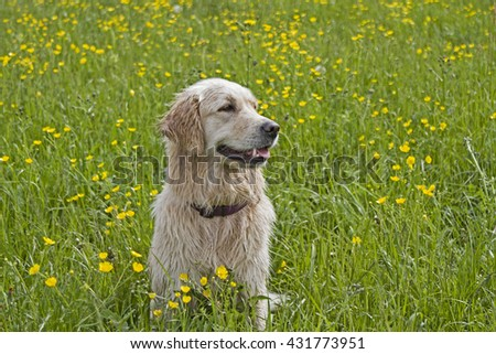 Golden Retriever, enjoying after a long bath in the river, the sun's rays on a flower meadow - stock photo
