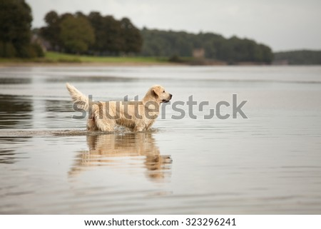 Golden Retriever enjoying the outdoors and swimming in a lake - stock photo