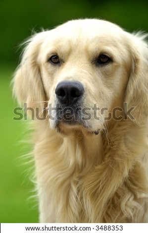 Golden retriever enjoying the sunshine in the park