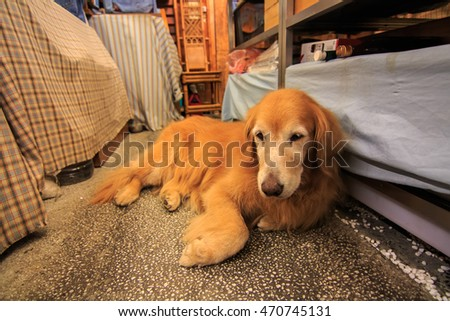 Golden retriever , golden retriever on resting