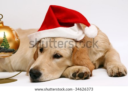 Golden retriever in a cap of Santa-Klausa on a white background.