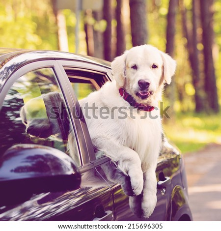 golden retriever in a car - stock photo