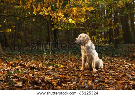 Golden Retriever in Forest with Autumn colors - stock photo