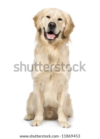 Golden Retriever in front of a white background.