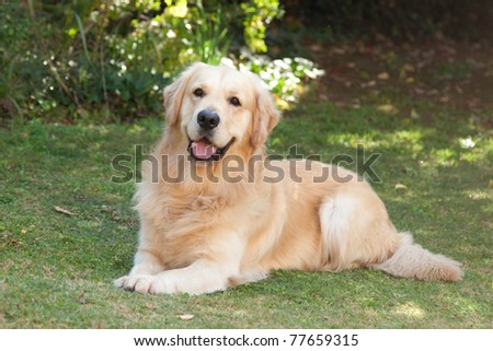Golden Retriever in garden on green lawn - stock photo