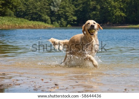Golden Retriever in play at the lake - stock photo