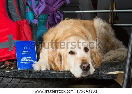 Golden Retriever in the boot of the car ready to leave home - stock photo
