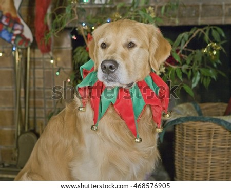Golden Retriever in the Christmas Holiday spirit!