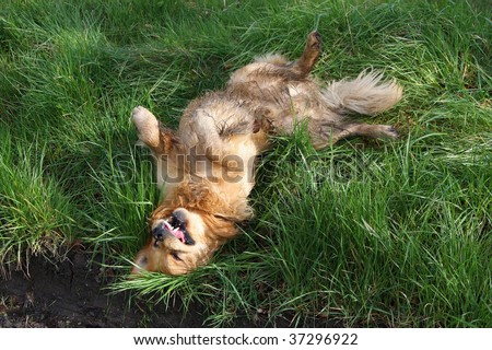 golden retriever in the grass, frozen motion