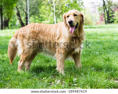 Golden Retriever in the park
