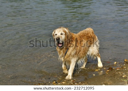 Golden retriever in the water - stock photo