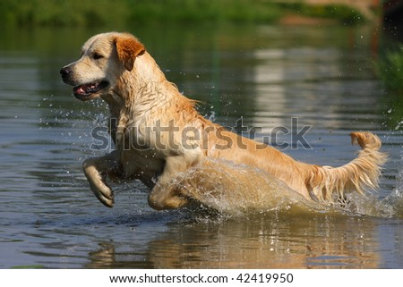 Golden retriever in water - stock photo