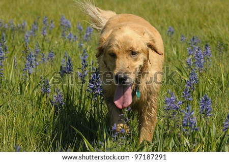 Golden Retriever in wildflower field in California Sierra Nevada Mountains - stock photo