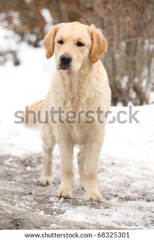 Golden retriever in winter - stock photo