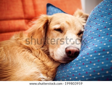 Golden retriever is sleeping on bed.