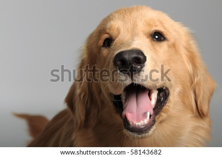 Golden Retriever isolated on Background - stock photo