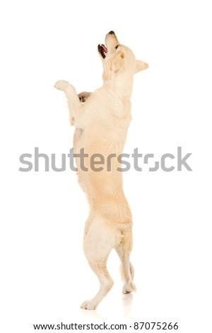 golden retriever jumping up - stock photo