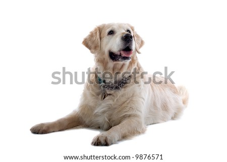 golden retriever Labrador isolated on a white background