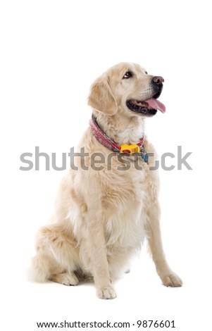 golden retriever Labrador isolated on a white background - stock photo