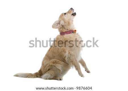 golden retriever Labrador isolated on a white background - stock photo