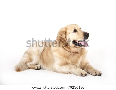 golden retriever labrador on white background, golden retriever - stock photo