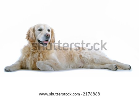golden retriever laying down - stock photo