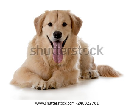 golden retriever laying down on white background