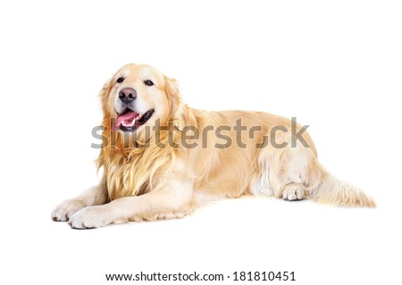 golden retriever laying on white background