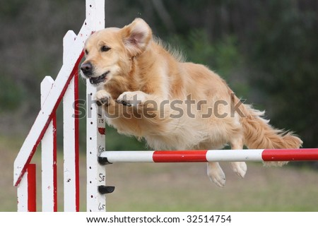 Golden Retriever leaps over a jump - Dog Agility at it's Best! - stock photo