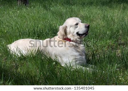 Golden Retriever lies in the grass - stock photo