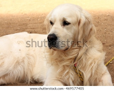 Golden Retriever lies on sand