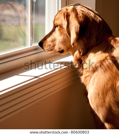 Golden Retriever Looking Out A Window - stock photo