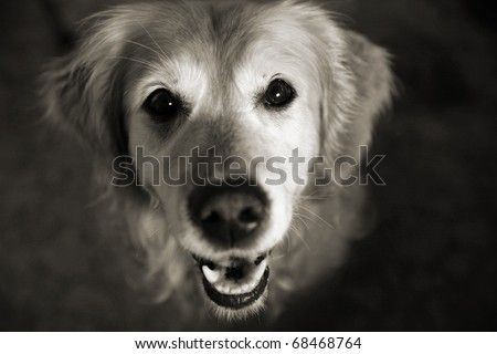 Golden retriever looking up with an eager look on her face - stock photo