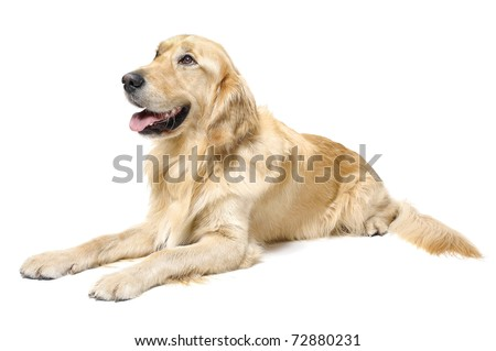 Golden Retriever Lying Down - stock photo