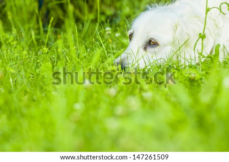 Golden retriever lying down on green grass during hot sunny day