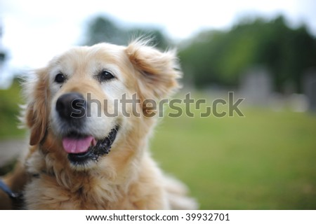 Golden retriever lying down outside