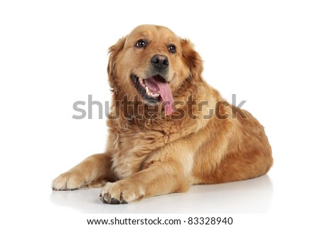 Golden Retriever lying on a white background