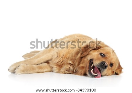 Golden Retriever lying on a white background - stock photo