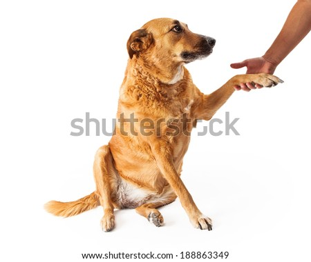 Golden Retriever mixed breed dog extending his paw to shake the hand of a man
